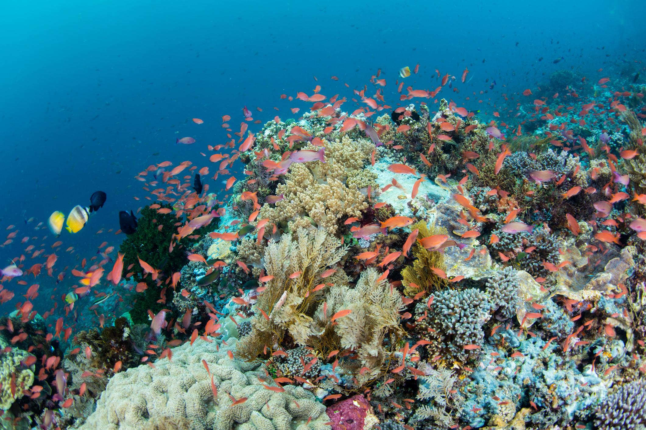 Vibrant Coral Reef in Indonesia