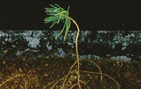 pineseedling_0